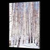 Birches in Winter
